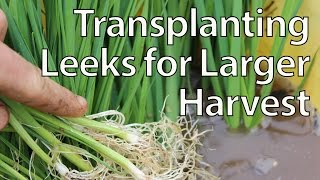 Transplanting Leeks for Maximum Yields