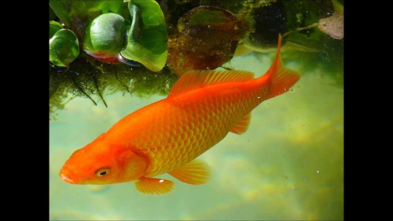 Los peces para ni os que son los peces youtube for Modelos de estanques para peces