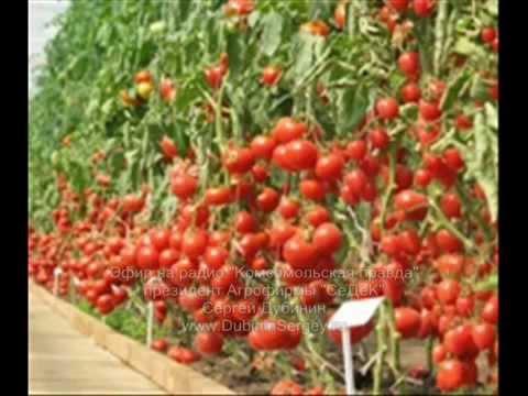 Видео как правильно посадить помидоры