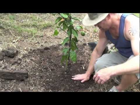 How To Grow A Lemon Tree video
