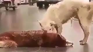 Watch this dog reaction while his friend was hit by a car