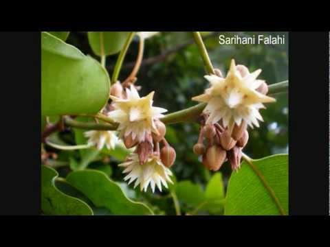 Bunga Tanjung - Eddy Silitonga video