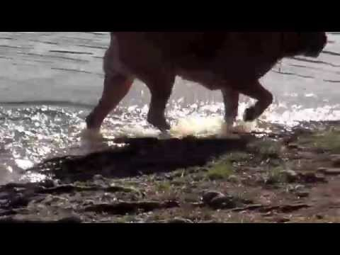 dogue de bordeaux swimming