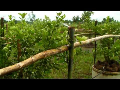 ระบบน้ำมิมิสปริงเกอร์ และการให้ปุ๋ยต้นมะนาวตาฮิ�