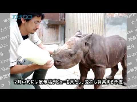 クロサイの赤ちゃん、金沢動物園ですくすく/神奈川新聞(カナロコ)