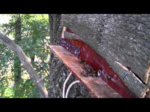 ловля роев ловушкой видео 2016 г
