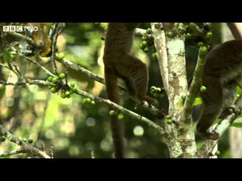 Looting Lemurs - Madagascar, Lost Worlds, Preview - BBC Two