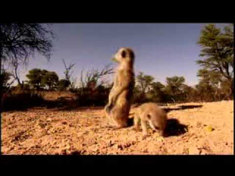 meerkat manor Video