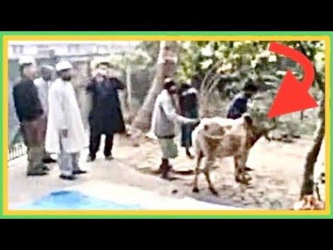 Cows Running Away Eid ul Adha Bull / Cow Runs