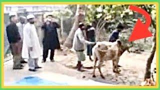 Eid ul Adha Bull / Cow runs away before Qurbani Sylhet Bangladesh 2016
