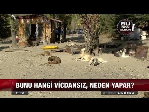 Köpeklerin kulaklarını kestiler - 27 Ekim 2017