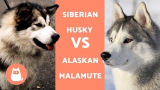 HUSKY VS ALASKAN - DIFFERENZE tra Siberian Husky e Alaskan Malamute