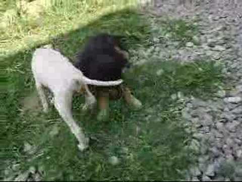 Köpek Kavgası