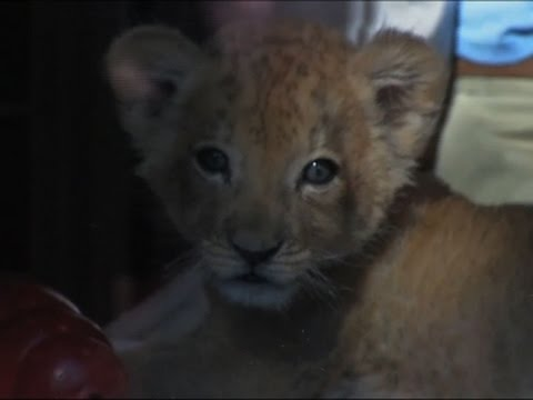 Raw: Buffalo Zoo Welcomes New Lion Cub