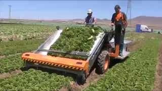 ORTOMEC 8500 -  RACCOLTA INSALATA A CESPO - HARVESTING OF THE HEAD LETTUCE