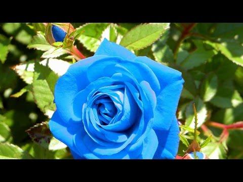 Правильная Посадка Роз Осенью и Уход за Ними! Как Сажать и выращивать Розы Дома !