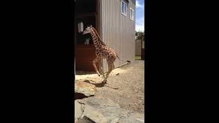Tajiri Zoomies at Animal Adventure Park July 2017