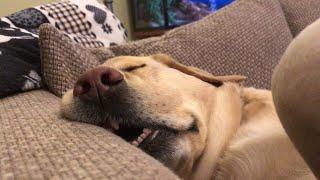 Sleeping Pooch Snores Loudly || ViralHog