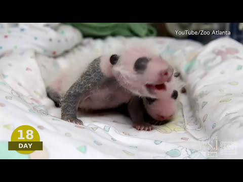 Baby Pando Video | Atlanta Zoo