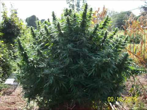 Twisted Sisters Monster Marijuana Plant Quick Picts