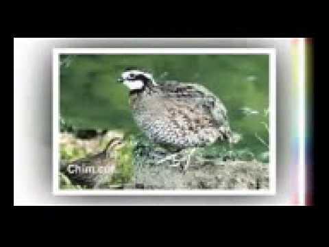 Tiếng Chim Sẻ,cut,và Nhìu Loại Khác.tiếng Chim Chất Lượng video