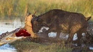 [the animal world] Lion Attack zebra And Die   Incredible Animal Attack   Wild Animals Attack #18