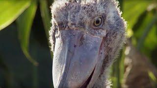 Shoebill Chick Reveals Darkside  | Africa | BBC