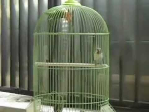 Lovebird biru - photo#13