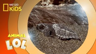 Baby Turtles | Animal LOL