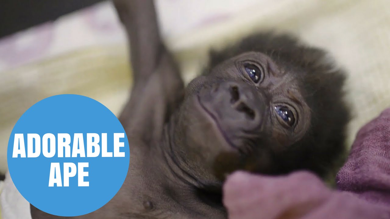 Cute baby gorilla doing well at Bristol Zoo