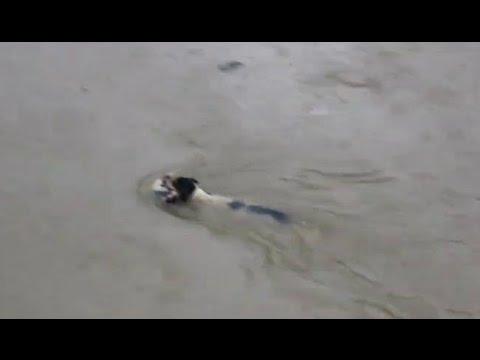 チェンナイの洪水で動けなくなった子犬を母犬が救出