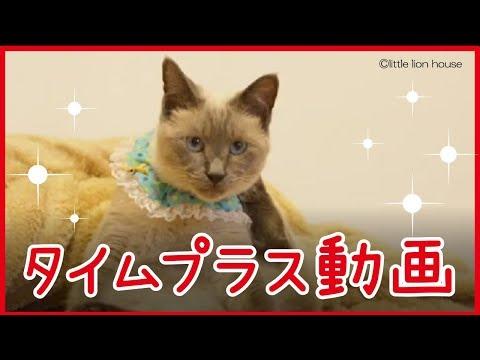 毛づくろいをするシャム猫のタイムプラス動画