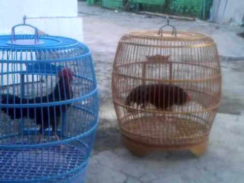 Ayam Bekisar,,, Merdunya Suara Hanoman Dan Khrisna Sampang Milik Bapak Syafriwanto video