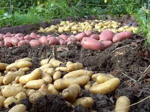 Kartoffeln Anbauen - Mit Und Ohne Garten
