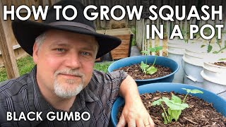How to Grow Squash in Containers || Black Gumbo