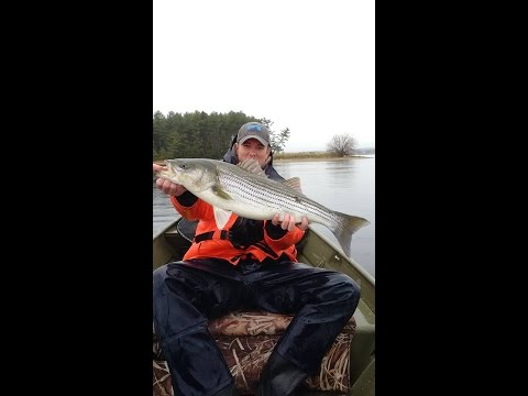 Striped Bass fishing Miramichi 2016 - Amazing underwater footage