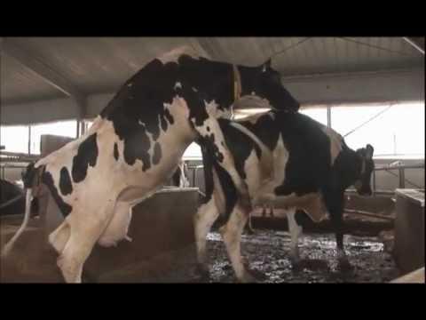 Искусcтвенное осеменение коров. Oops I let the cow in. приняли роды у коро