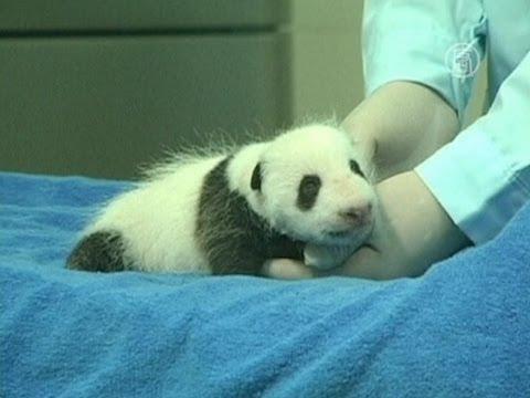 Как выглядят панды в месяц от роду (новости)