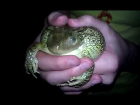 Download Frog Scream.3gp HD Mp4 3GP Video and MP3