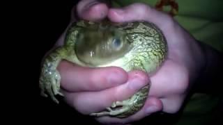 Frog Scream.3gp