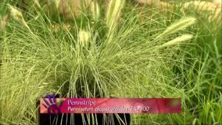 Pennstripe, Ornamental grass gardening