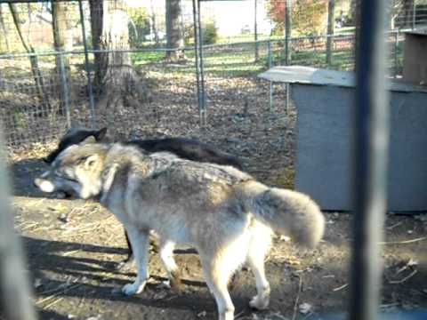 Wolf Mating Fail