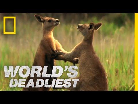 Kangurular arasında kick box kavgası