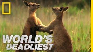 (3.46 MB) Kangaroo Kickboxing | World's Deadliest Mp3