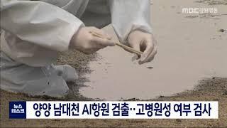 양양 남대천 야생조류 분변 AI항원 검출