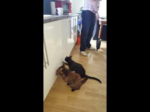 キッチンの棚をご飯が欲しそうに必死でカリカリする2匹の猫が可愛すぎる