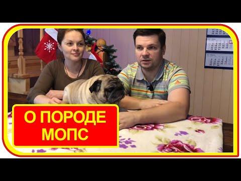 Мопсы - вся правда о мопсах // плюсы и минусы // все о породе мопс// Стоит ли заводить собаку
