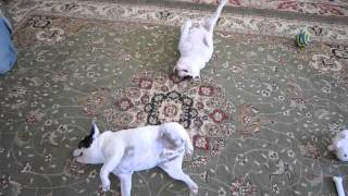 Let's Do The Twist (French Bulldog Style)
