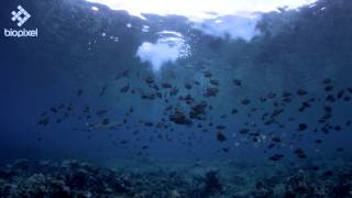 Underwater fireworks for New Years Eve with Surgeonfish Mass Spawning