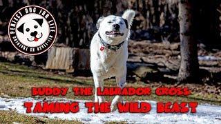 "Labrador Cross ""Buddy"" | Off Leash Training | Best Toronto Dog Trainer"